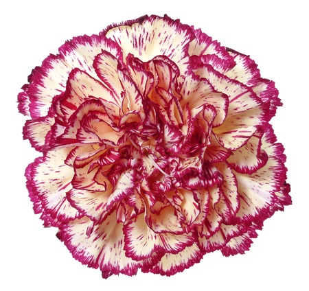 gilliflower: carnation flower