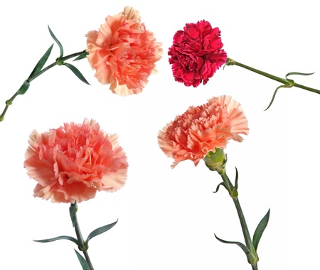 gilliflower: carnation flowers