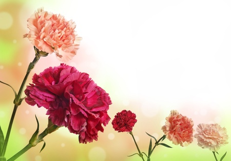 gilliflower: carnation flowers background