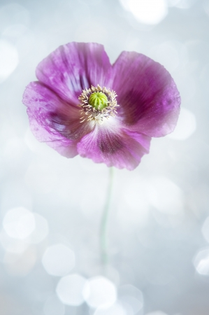 poppy flower and light bokeh background photo