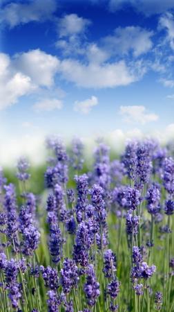 lavender field Reklamní fotografie