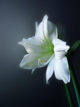 lilia: blanca lilia Foto de archivo