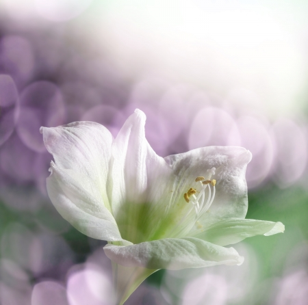 white lily and bokeh photo
