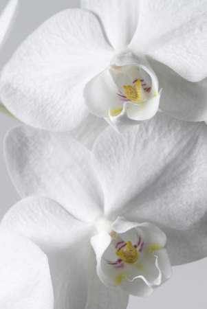 white orchid - detail Stock Photo - 17457187