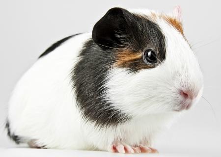 little guinea pig  photo