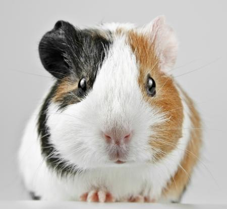 small guinea pig  photo