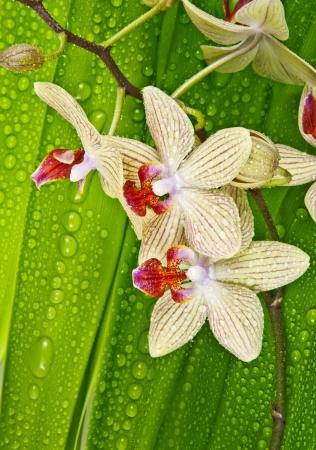 dewy: dewy orchid