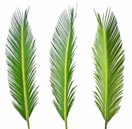 three palm trees: three palm leaves