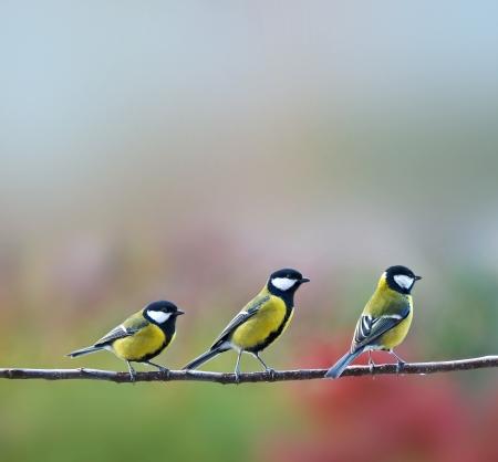 titmouse: three titmouse birds