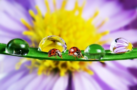 ladybirds and water drops macro photo