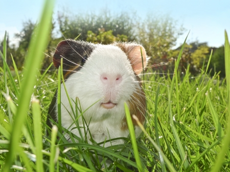 guinea pig: guinea pig in the garden Stock Photo