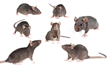 brown: mice collection