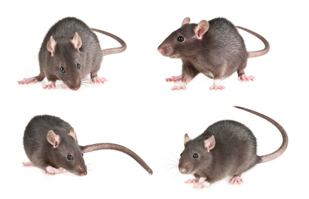 mouse animal: mice Stock Photo
