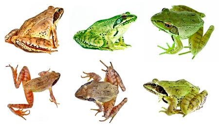 frogs photo
