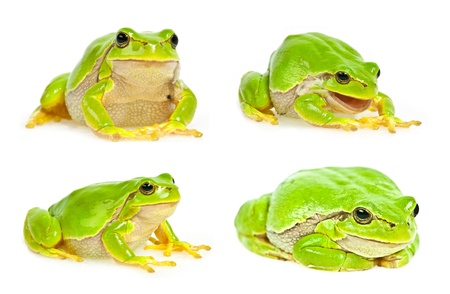 hyla: tree frog collection Stock Photo