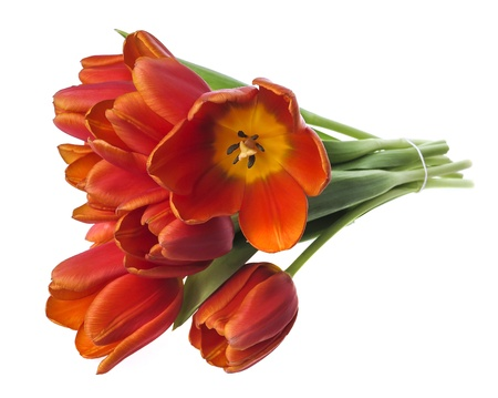 bunch of red tulips on white background Stock Photo - 17382780