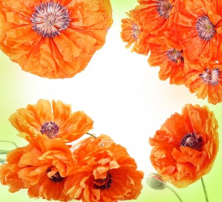 poppy frame photo