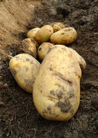 potatoes Stock Photo - 17515704