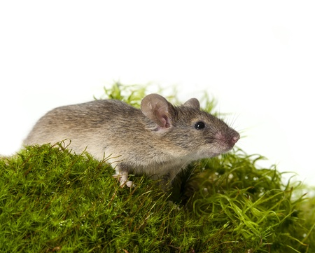moos: mouse on green moos Stock Photo