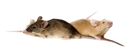 three cute mice isolated on a white background Stock Photo - 17775233