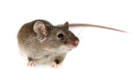 a mouse - white background Stock Photo - 17775183