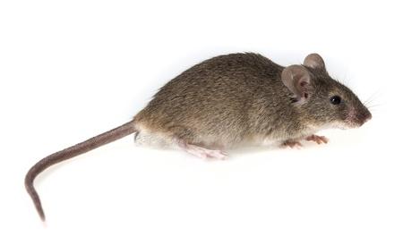 rat�n: un peque�o rat�n aislado en un fondo blanco Foto de archivo