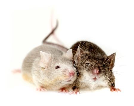 raton: dos ratones