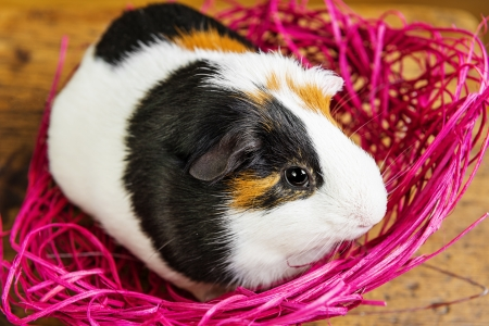 pet guinea pig in a little  pink net photo