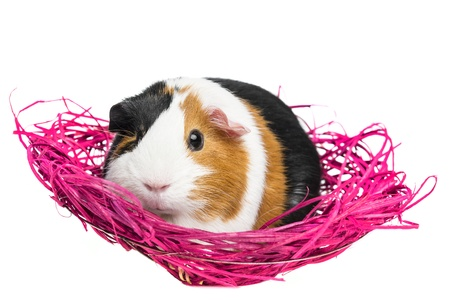 guinea pig in a pink net photo