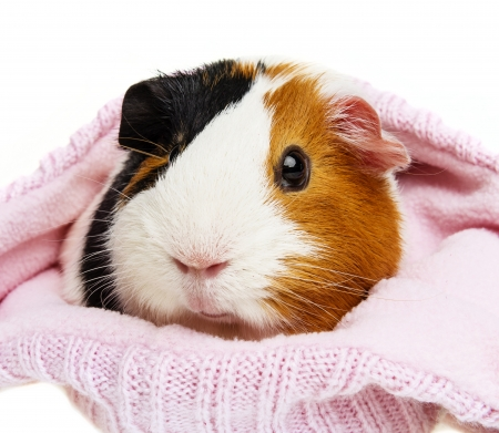 guinea pig in a pink cap isolated photo