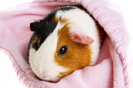 guinea pig in a pink cap isolated on white photo