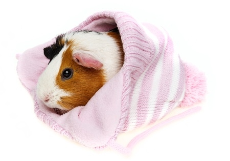 guinea pig in a pink cap isolated on white background photo