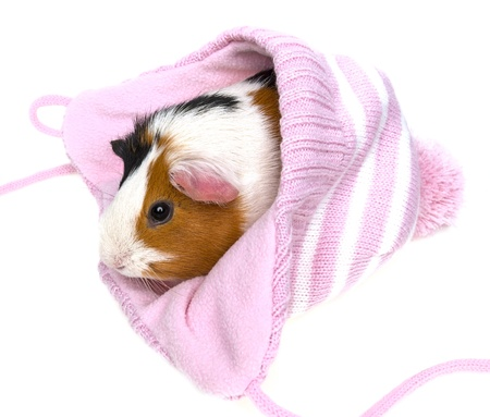 guinea pig in a pink cap isolated on a white background photo