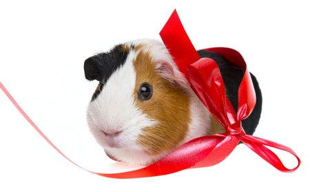 guinea pig  with a red ribbon photo