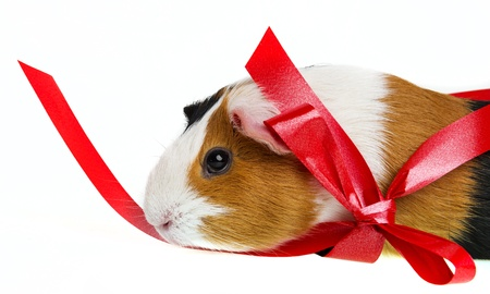 pet guinea pig in a little basket with a red ribbon photo