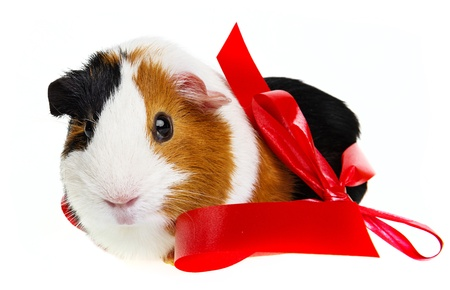 pet guinea pig with a red ribbon photo