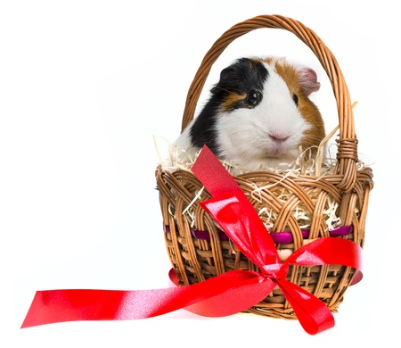 guinea pig in a little basket with a red ribbon photo