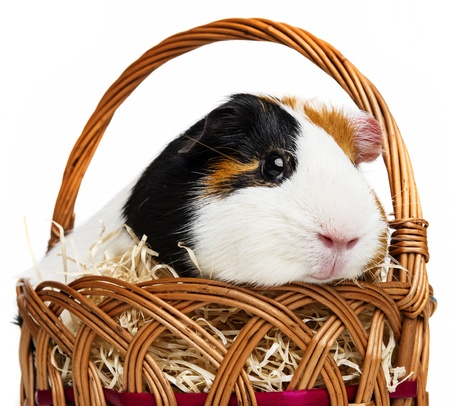 guinea pig in a little basket photo