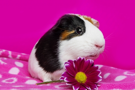 cute guinea pig with a flower on a  pink background photo