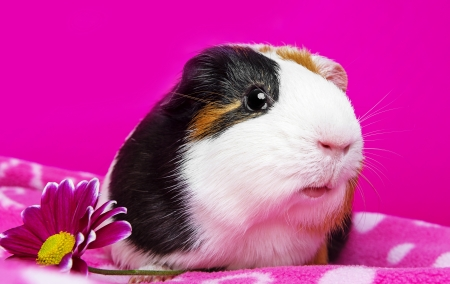 cute guinea pig with and flower - pink background photo