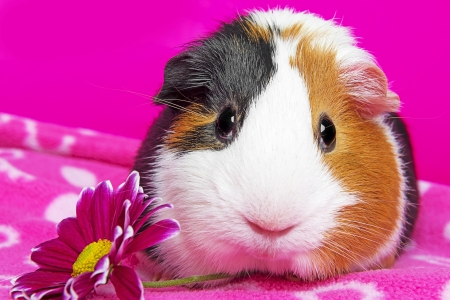 cute guinea pig with a flower photo