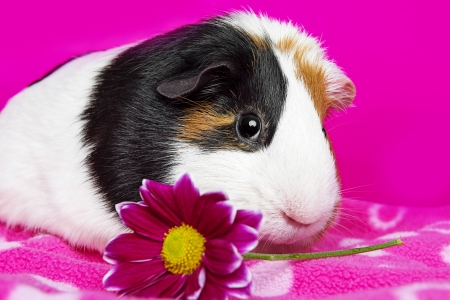 3 little pigs: cute guinea pig with a pink flower