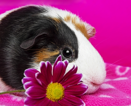 cute guinea pig with a pink flower - pink background photo