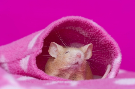 cute little mouse resting in a sleeve on a pink background Stock Photo - 17931838
