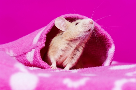cute little mouse on a pink background Stock Photo - 17931854