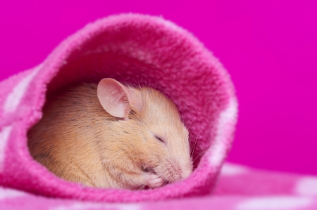 cute little mouse sleeping in a sleeve Stock Photo - 17931848