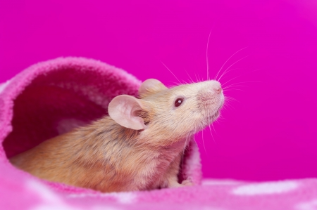 cute little mouse - pink background Stock Photo - 17931835