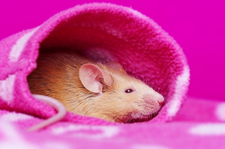 cute little mouse resting in a sleeve Stock Photo - 17931858
