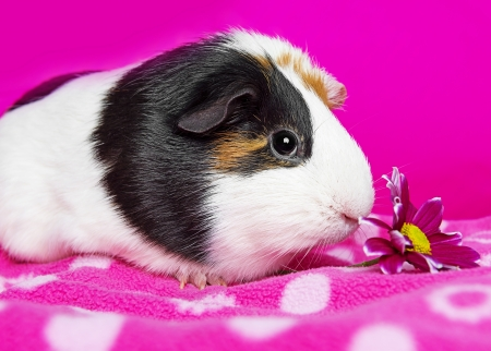 cute guinea pig with a flower - pink background photo