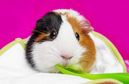 3 little pigs: cute guinea pig with a spoon - pink background Stock Photo